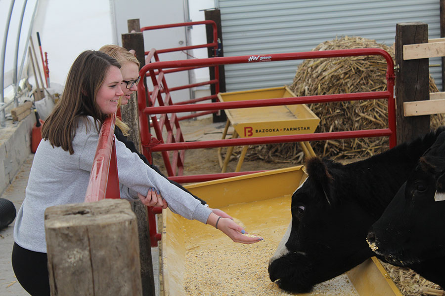 Tehya Demmer (12) and Lauren Ryan (12) watch as one of the cows in the hoop barn eats its feed.