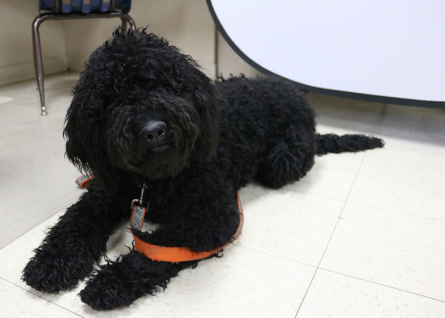 Wrigley, the WD therapy dog in training, visits the high school in March.